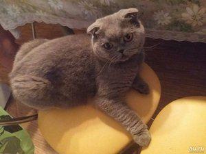Skrb za Scottish Fold maček