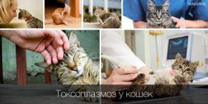 Simptomi in zdravljenje toksoplazmoze pri mačkah