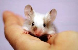 Koliko bi morala miška živeti?