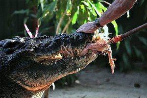 Koliko let lahko živi krokodil