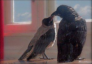 Koliko let lahko živi vrana in vrana