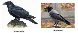 Vrana in gavran so posebnosti
