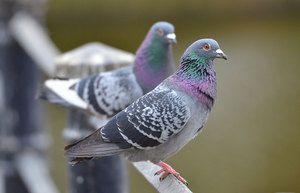 Koliko let živijo golobi v različnih pogojih