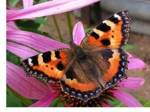 Urtikarija metulja