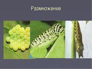Reprodukcija metulja