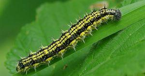 Caterpillar panj