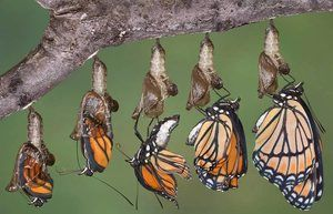 Razvoj metulja iz krizal