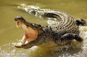 Koliko zob ima v krokodilu