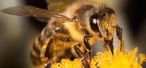Življenjska doba čebel