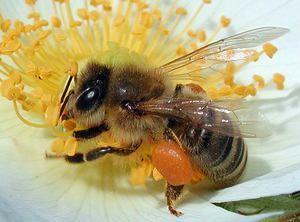 Kako dolgo živijo čebele