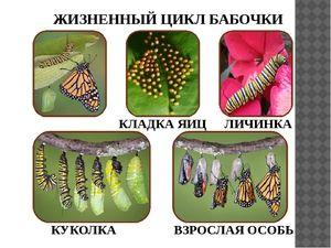 Kako dolgo živijo metulji?