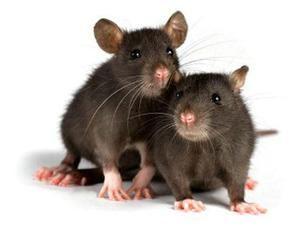 Koliko živih domačih podgan in pod kakšnimi pogoji?