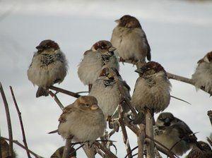 Koliko vrabcev živi in glavni razlogi za njihovo smrt