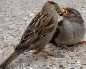 Kaj hrani vrabec