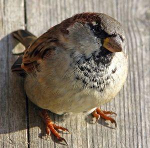 Zakaj izginejo vrabci?