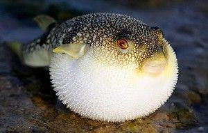 Smrtonosno nevarno strupeno dobrote - riba fugu