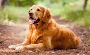 Pas pasme zlati retriever - ljubi hišne ljubljenčke