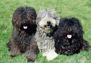 Psi krznenih pasem s kodranimi lasmi