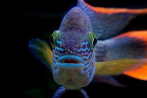Vsebina turkiznega raka v akvariju, združljivost z drugimi ribami