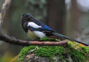 Soroca vulgaris: značilnosti vedenja ptic