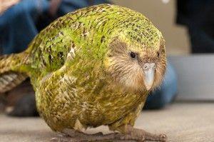 Owl papiga kakapo in opis ptic brez letenja