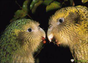 Dva kakapo