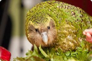 Kakapo ali sova papiga