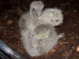 Nestlings of kakapo