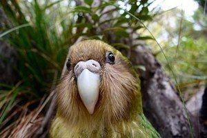 Velik Kakapo
