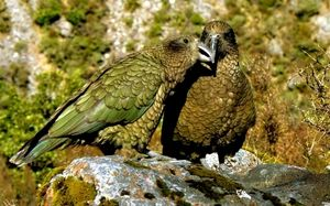 Owl papagaji Kakapo