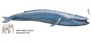 Modri kit se šteje za največjo žival