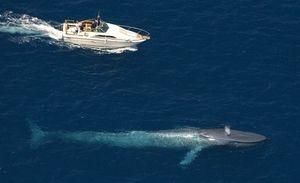 Živalski velikan - modri kit