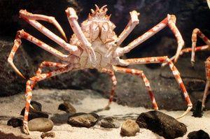 Japonski pajkovec je največji rakovica