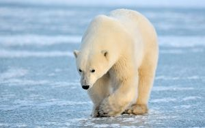 V kakšnem obsegu doseže beli medved?