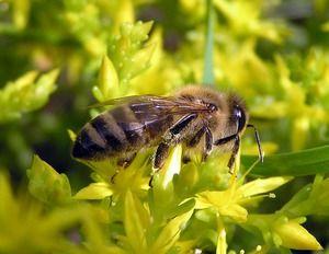 Srednja ruska čebela