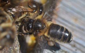 Čebele srednjeveške pasme