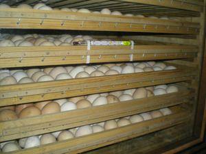 Rok uporabnosti jajc