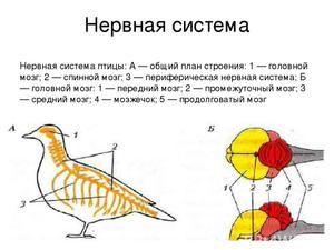 Struktura živčnega in izločevalnega sistema ptic. Sense organov