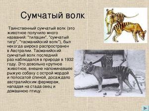 Marsupial Wolf: Zgodovina in opis tasmanskega tigra