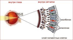 Svetlobo občutljivi receptorji v očesu