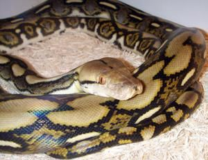 Dark Tiger Python: opis in nasvete o vsebini
