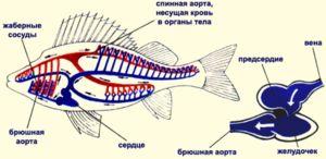 Cirkulatorni sistem rib prevzame en atrij in komoro