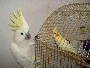 Videz papagaja Corelle