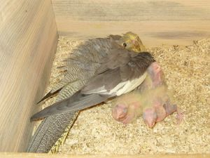 Perje v kopolah Corelle