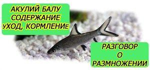 Pogoji za vzdrževanje in razmnoževanje akvarijskih rib morskih psov