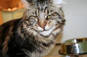 V kakšni starosti je bolje kastrirati mačko