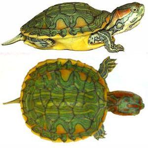 Vrste želv