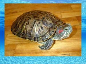 Kako določiti starost želva