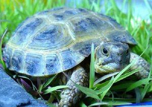 Želve v predhodno zasedenih pogojih