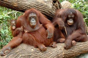 Vrste opic z imeni, značilnosti vsake pasme